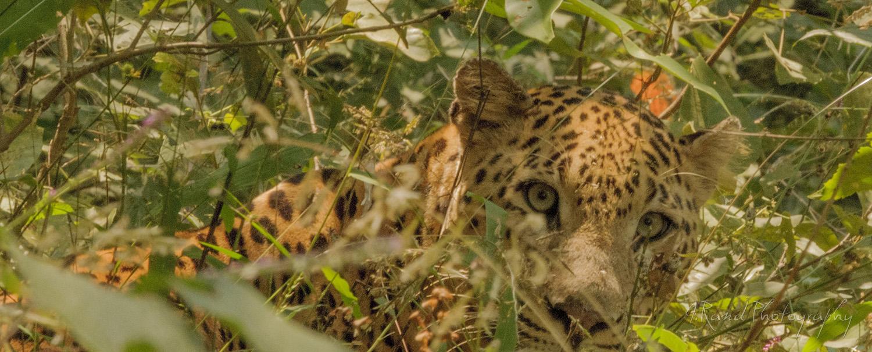 Leopard, Kana park India
