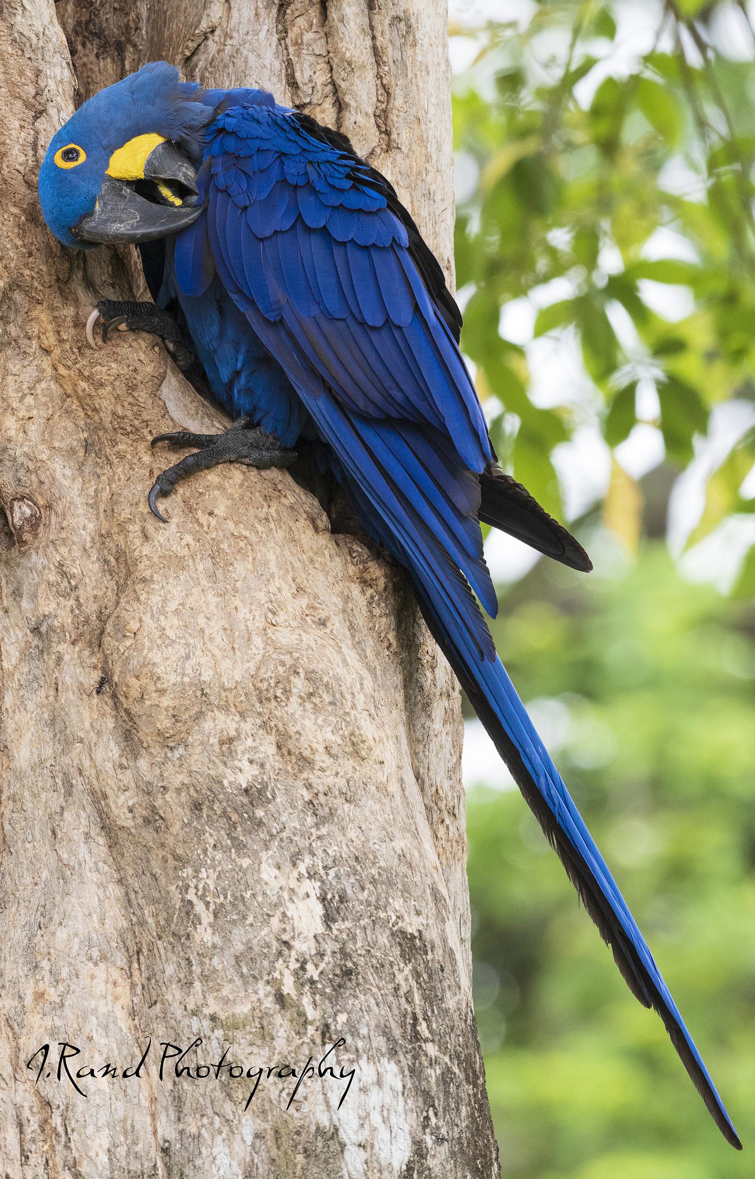 Blue Hyacinth Macaw, Pantanal Brazil