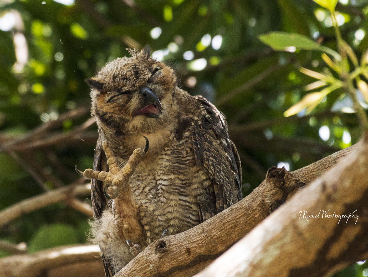 Owl, Pantanals Brazil