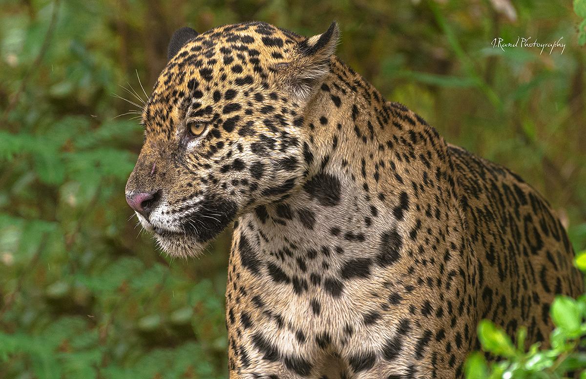 Jaguar Pantanals, Brazil