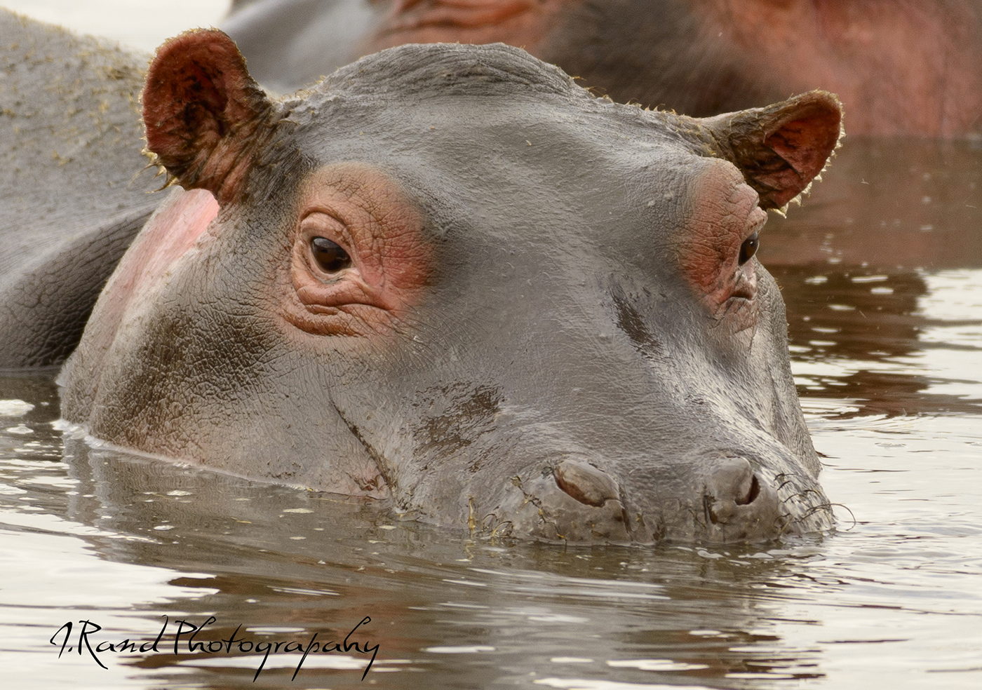 Africa, Tanzania Hippopotamus