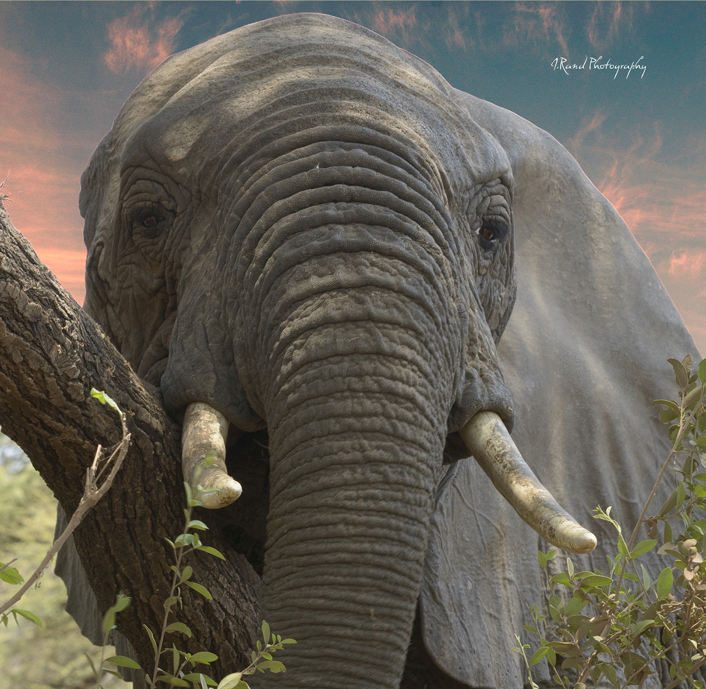 Tanzania Forest Elephant